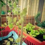 07 - Foglie gialle dei pomodori