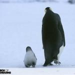 Il passo del pinguino leone